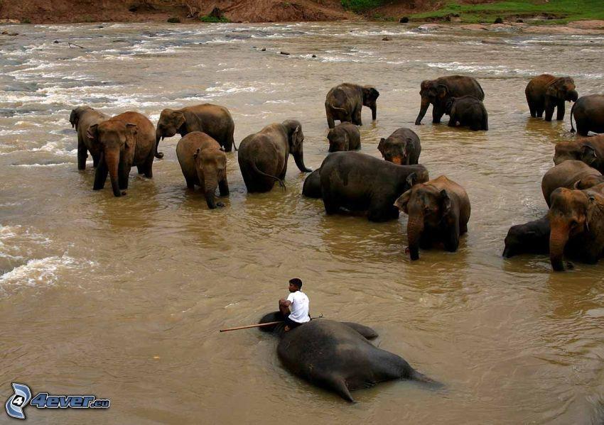 elefantflock, flod