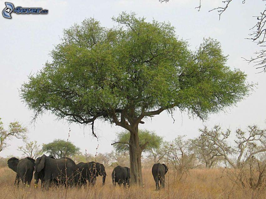 elefantflock, träd