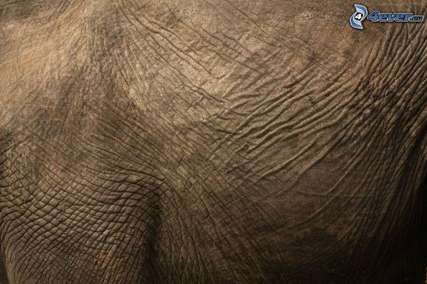 elefanthud