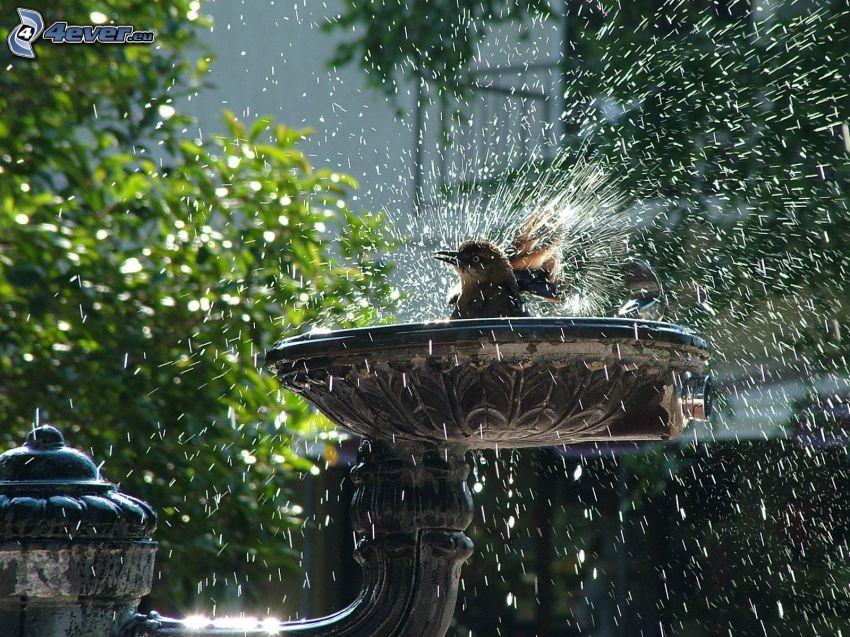 fågel, bad, vatten, fontän