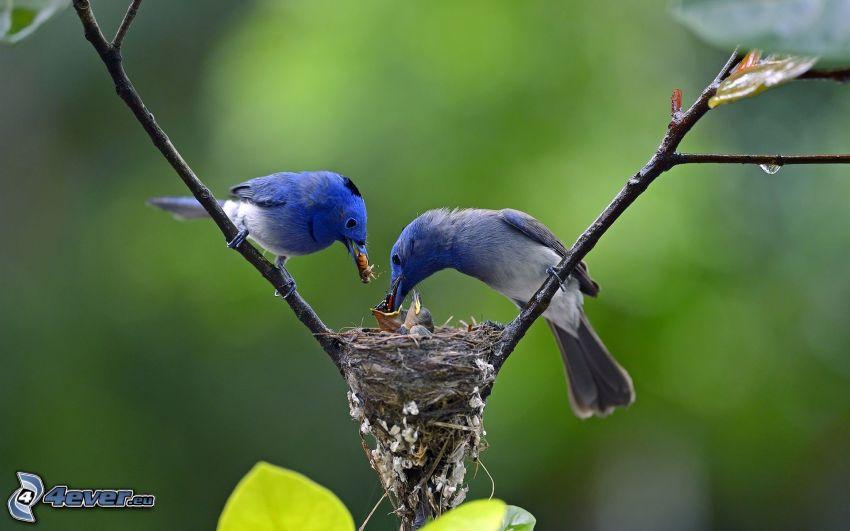 fåglar, bo, kvist