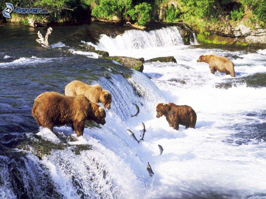 familj av grizzlybjörnar, björnar över vattenfall, vattenfall, fiskar