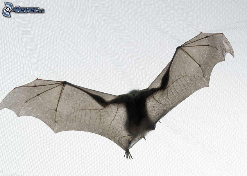 fladdermus, flyg