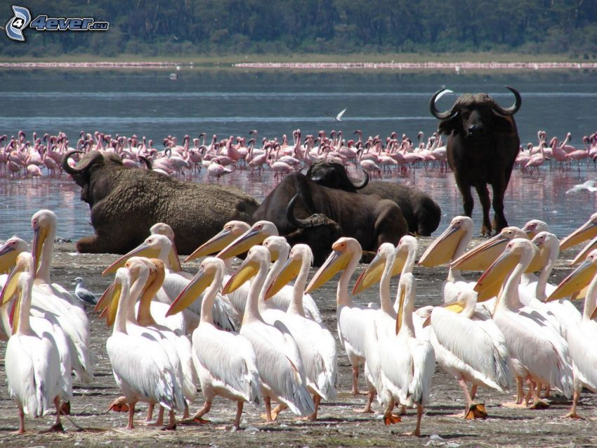 flamingos, byvoly, Nakuru, sjö