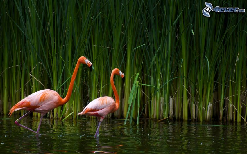 flamingos, vatten, högt gräs