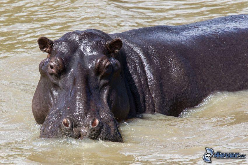 flodhäst, vatten