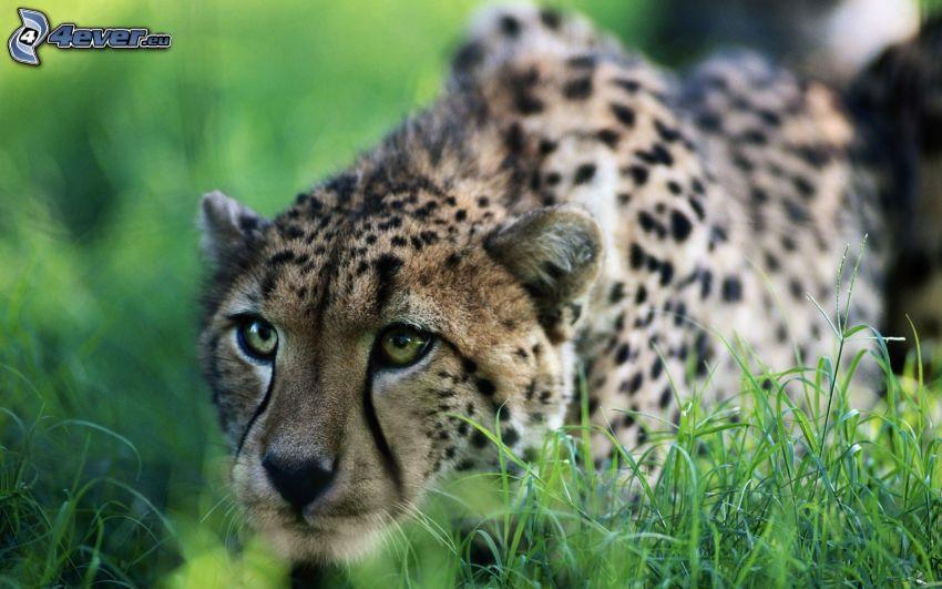 gepard, jakt, gräs