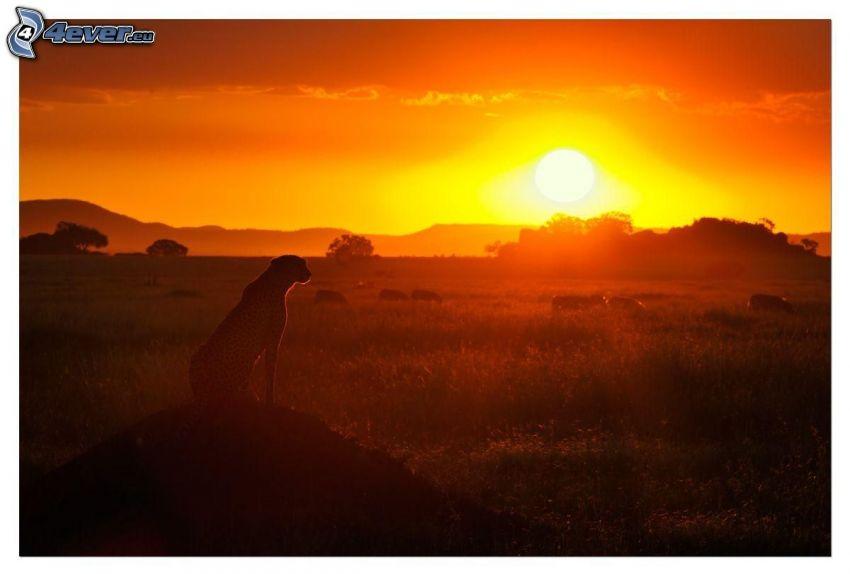 gepard, silhuett, solnedgång på savann, orange himmel