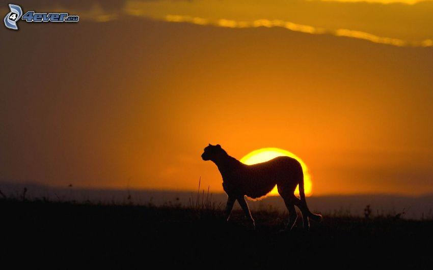 gepard, silhuett, solnedgång på savann