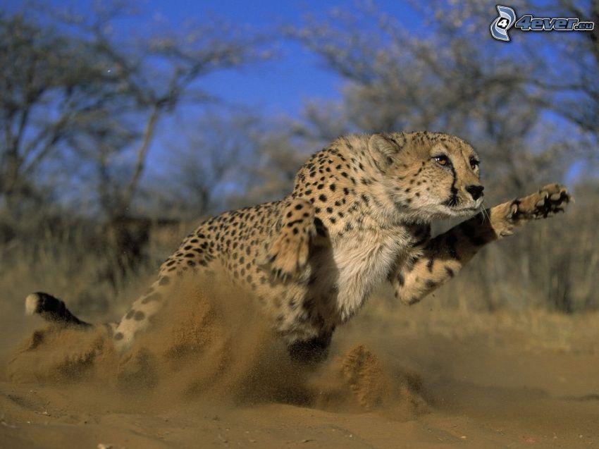 gepard, springa, sand