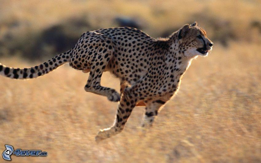 gepard, springa