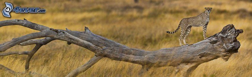gepard, stam