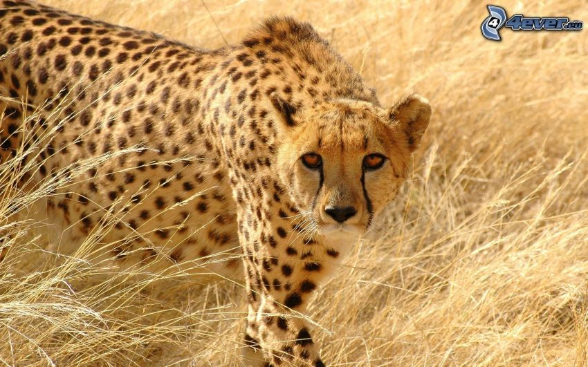 gepard, torrt gräs