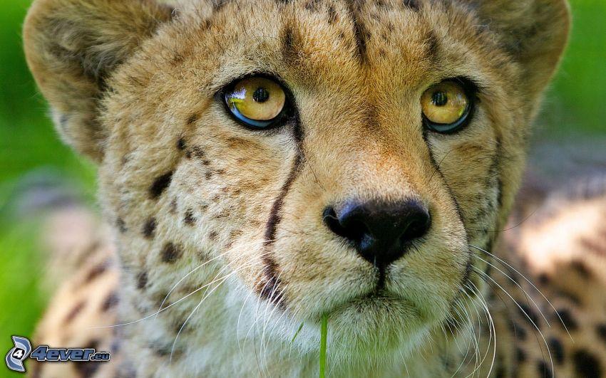 gepard, unge