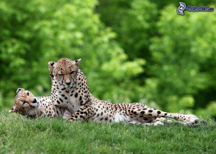 geparder