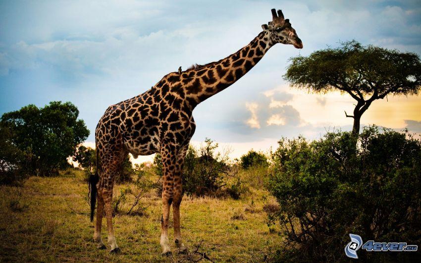 giraff, träd