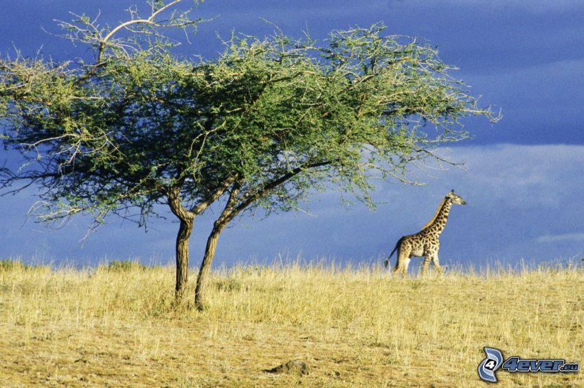 giraff i stäppen, buske