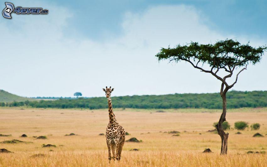 giraff i stäppen, savann