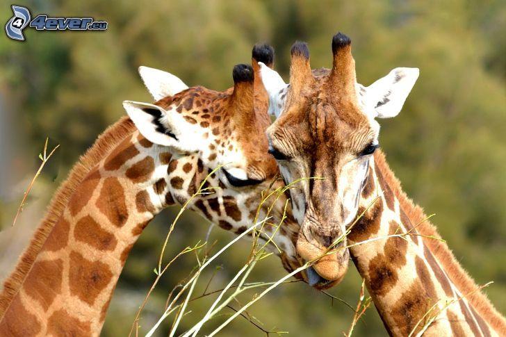 giraffer, kärlek