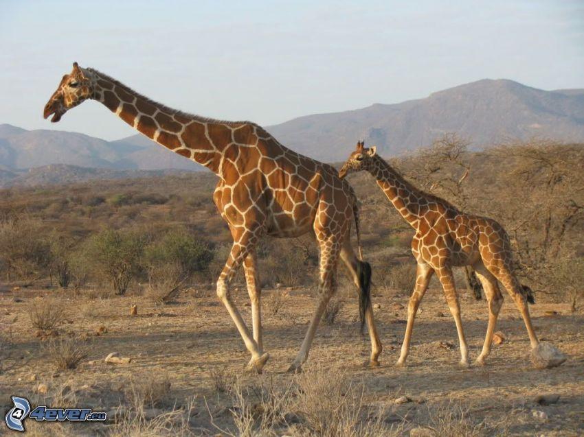 girafffamilj, giraff i stäppen