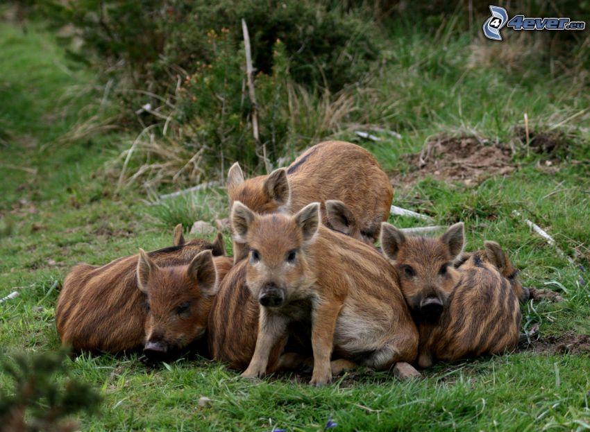 grisar, vildsvin