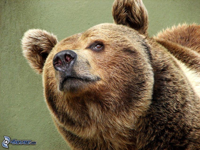 grizzlybjörn, brunbjörn