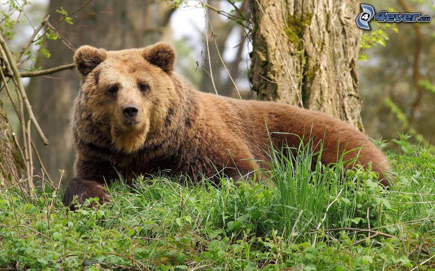 grizzlybjörn, grönt gräs