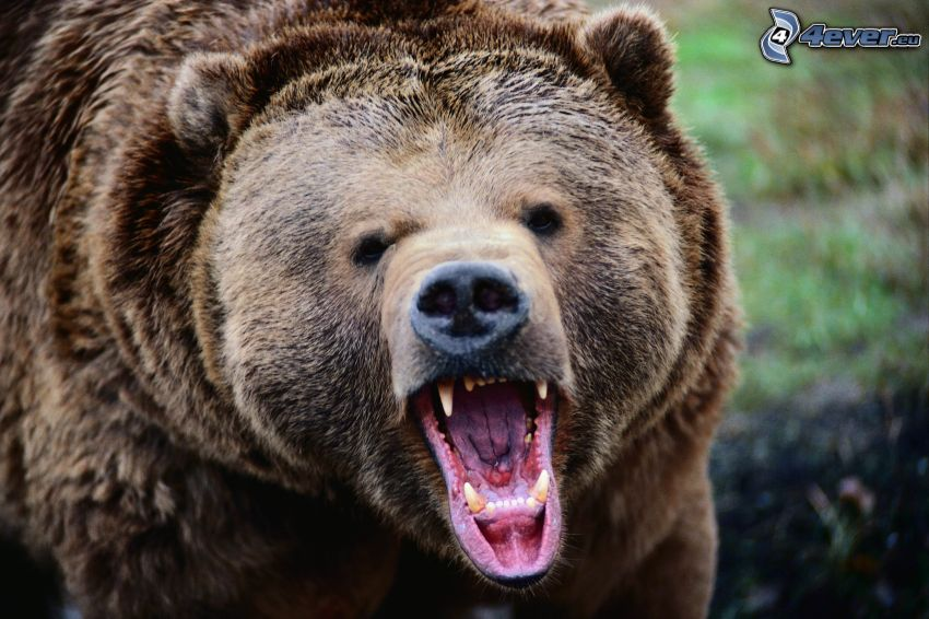 grizzlybjörn, käftar