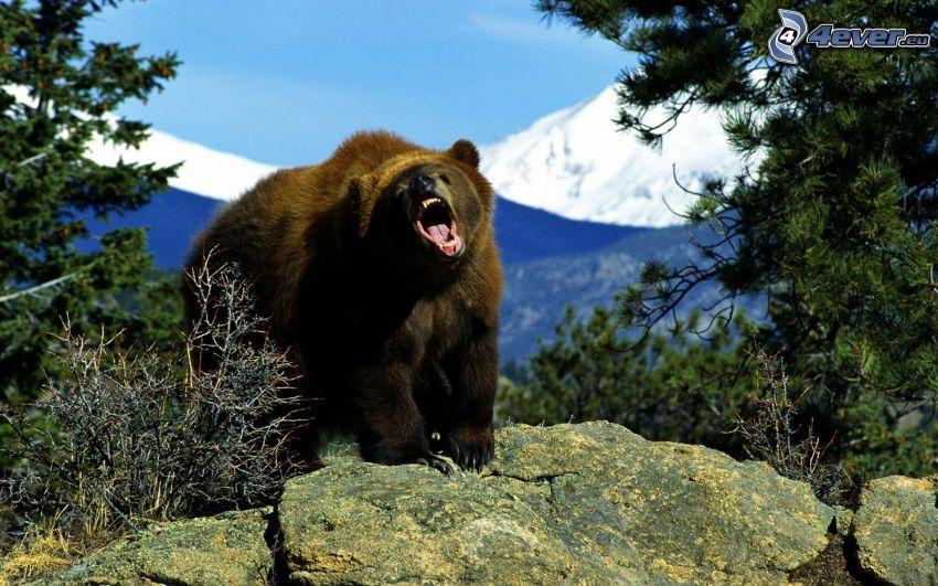 grizzlybjörn, ryt, klippa