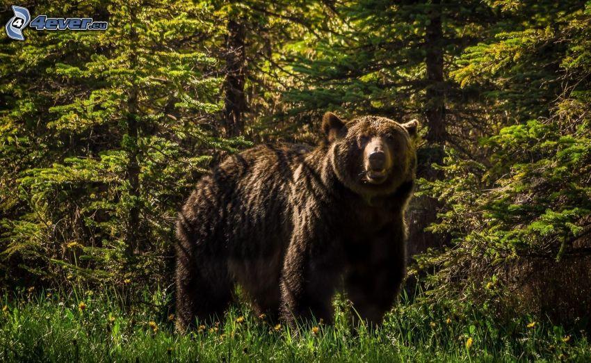 grizzlybjörn, skog
