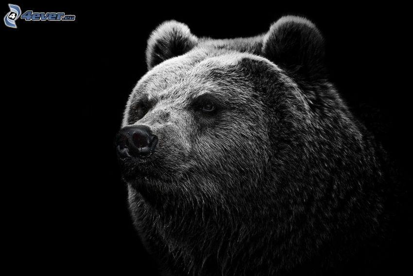 grizzlybjörn, svartvitt foto