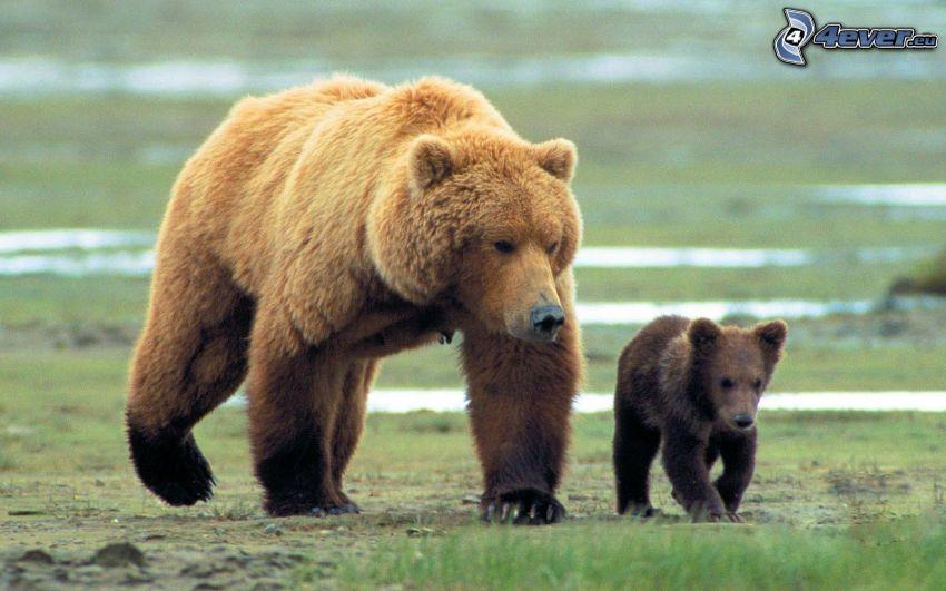 grizzlybjörn, unge