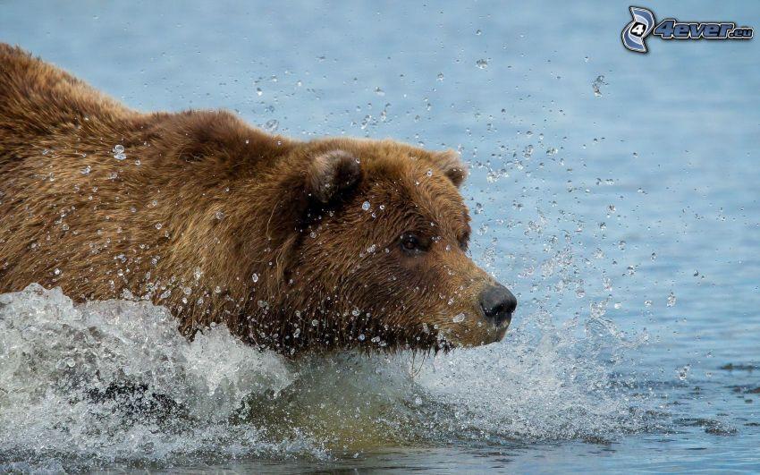 grizzlybjörn, vatten