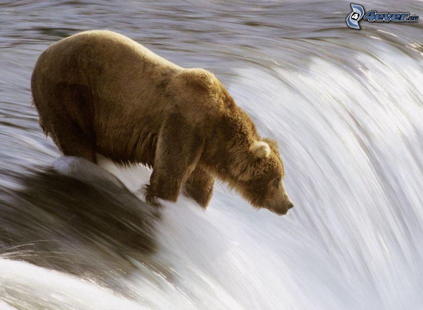 grizzlybjörn, vattenfall