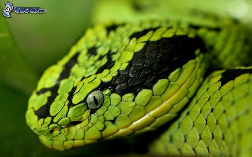 grön orm