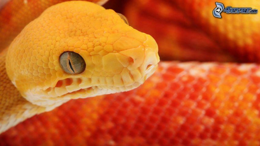 gul orm