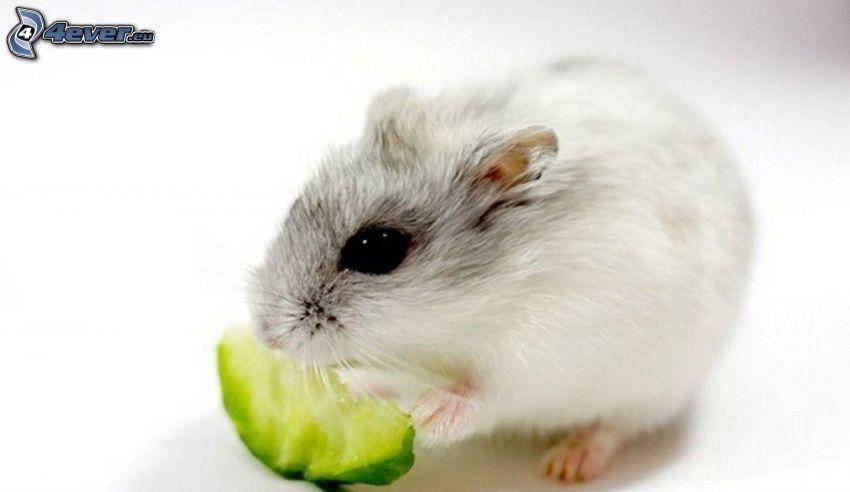 hamster, föda