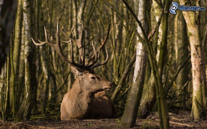 hjort, skog