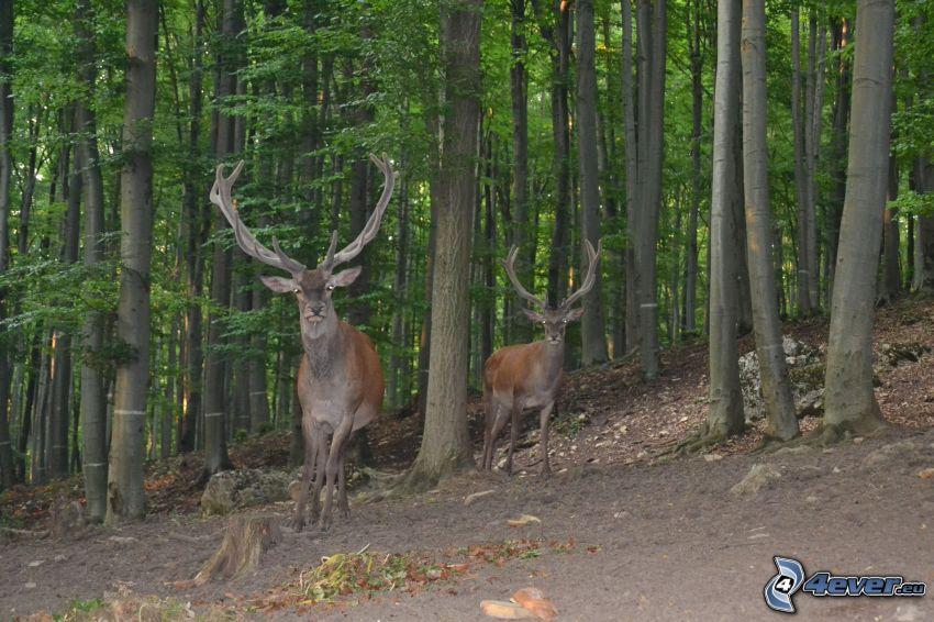 hjortar, skog