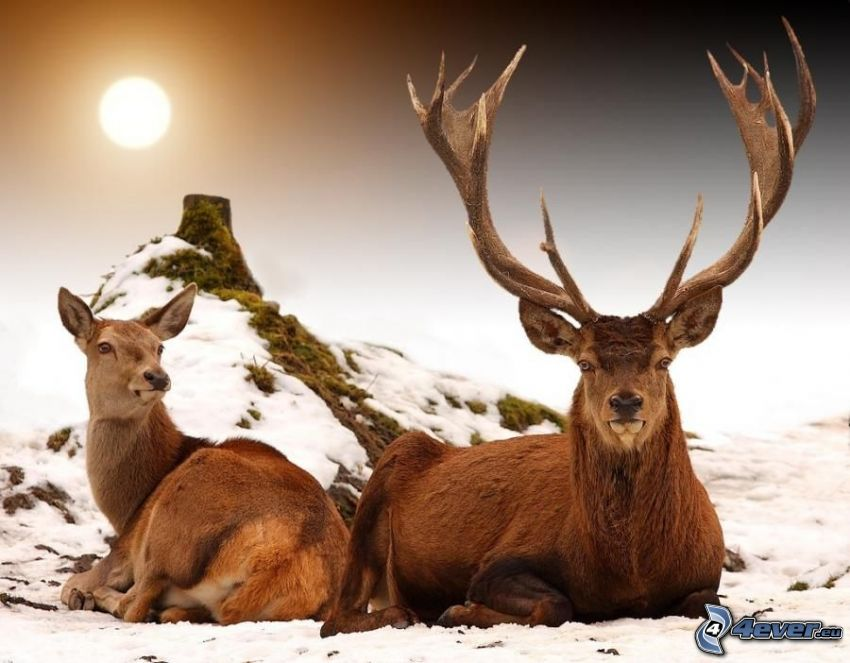 hjortar, snö, kulle, stubbe, sol