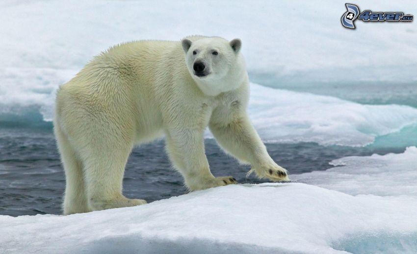 isbjörn, is, snö