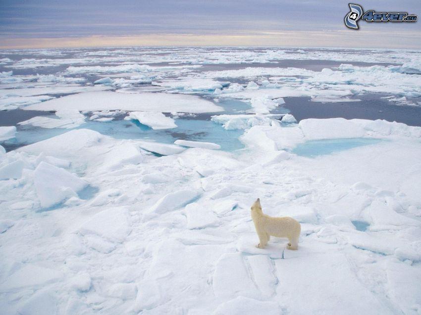 isbjörn, isflak