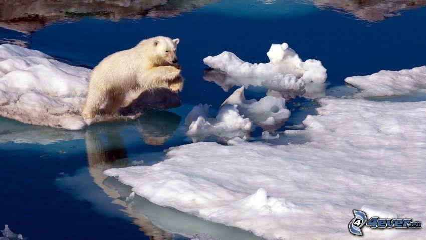 isbjörn, snö, hopp