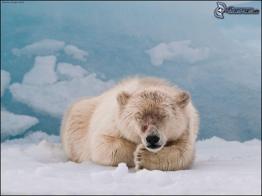 isbjörn, snö, sömn