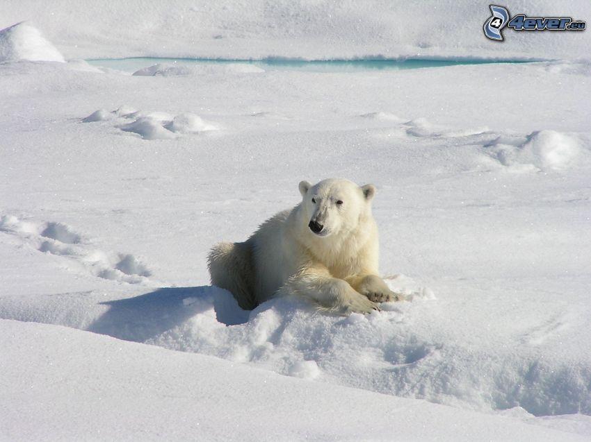 isbjörn, snö