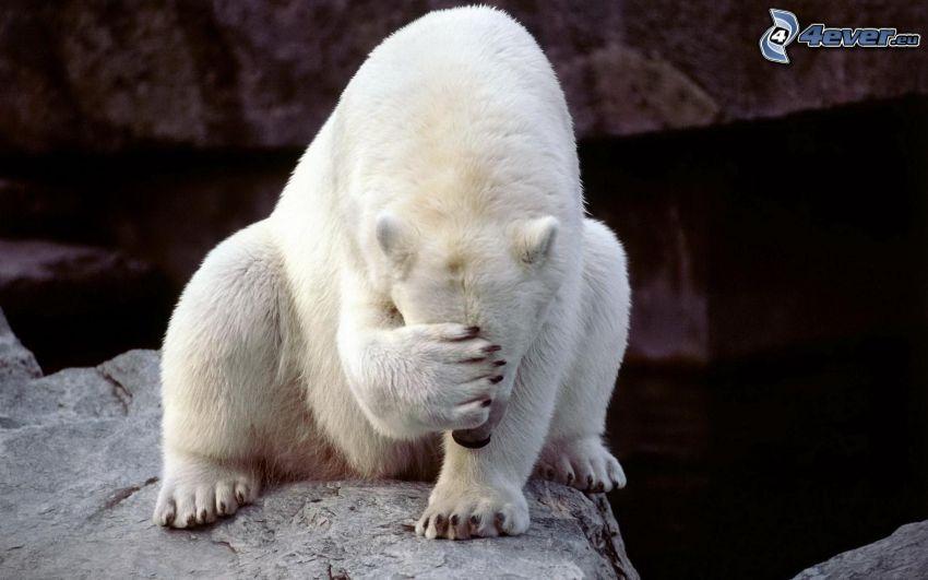 isbjörn, tass, klippa