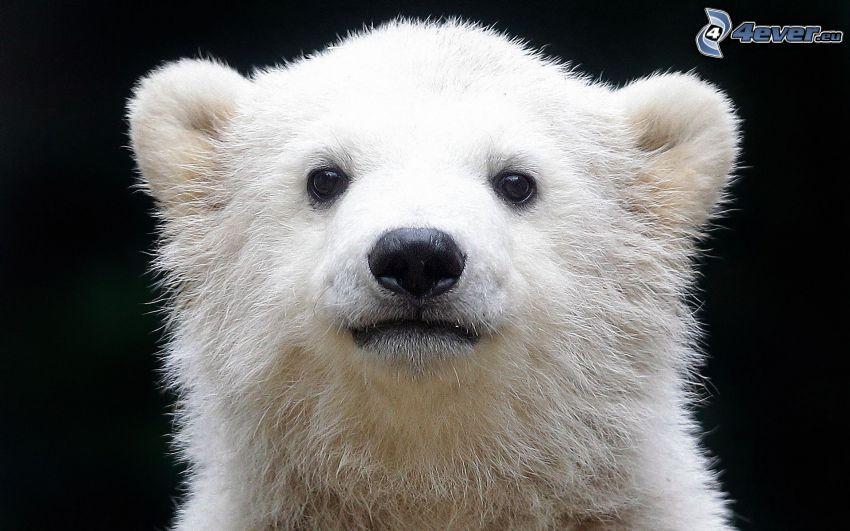 isbjörn, unge