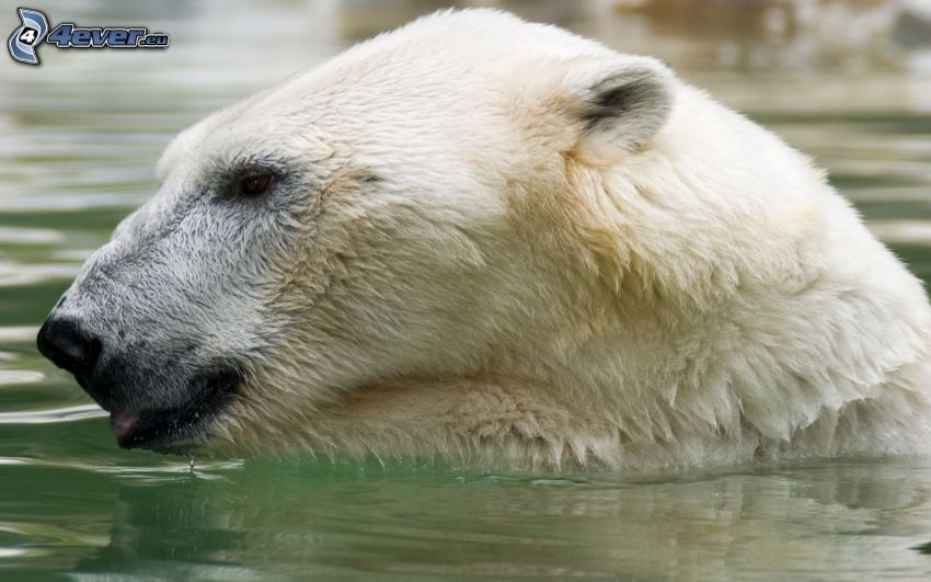 isbjörn, vatten
