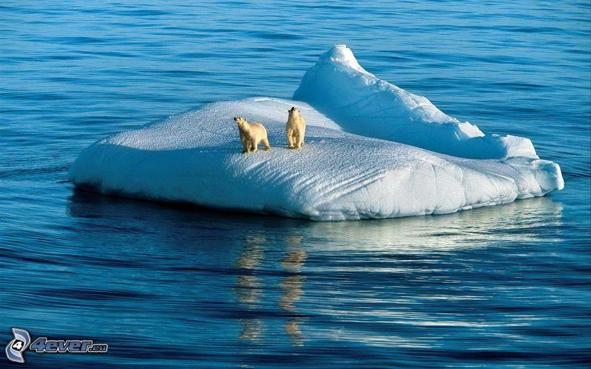 isbjörnar, glaciär