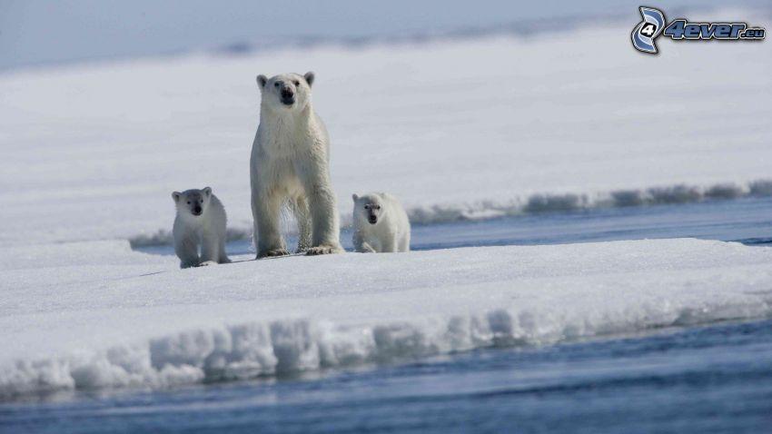 isbjörnar, isflak